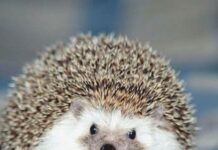 hedgehogsBeauty