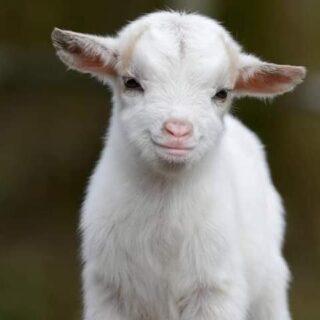 Goat Sellers