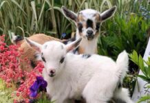 Goat farming Ideas