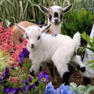 Goat farming Ideas
