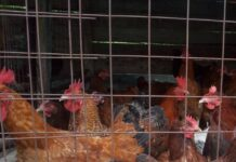 Laying Birds poultry farm