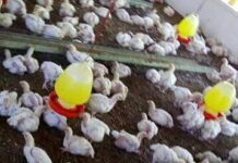 Poultry Rates