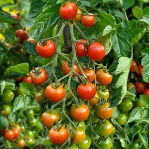 Tomato Farmers