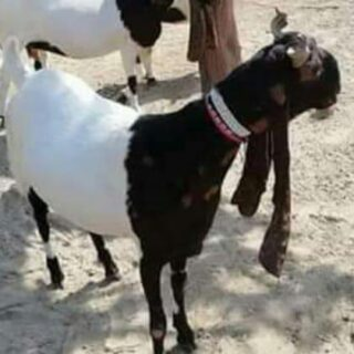 apna-goat-farm