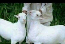 pak-goat-farming
