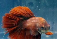 Betta Fish Breeders