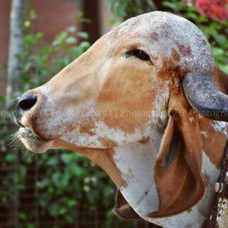 Gir Cow Breeder's