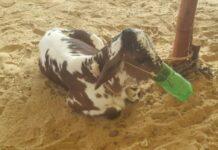 Karachi Cow Mandi