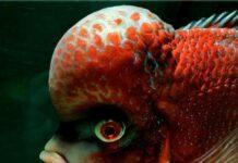 Mumbai Flowerhorn Fish