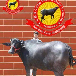 Murrah Animal Husbandry Association India