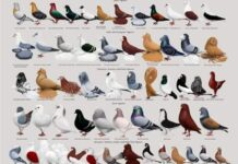 Pigeons and Birds Selling