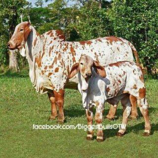 VIP PUNJAB CATTLE FARMERS