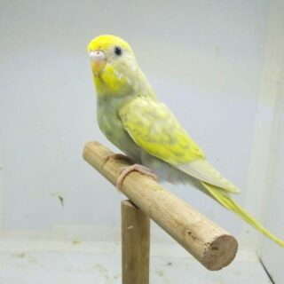 salem-birds-breeders