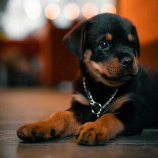 trichy pets buy & selling