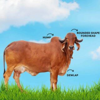 Cow Buffalo Sale Purchase