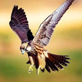 Falconry and Hunting