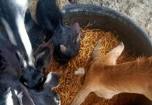 Assam India Goat Firm Agriculture